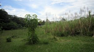 Die Zuckerrohr-Plantage
