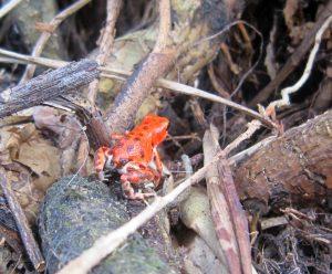 isla-bastimentos-red-frog