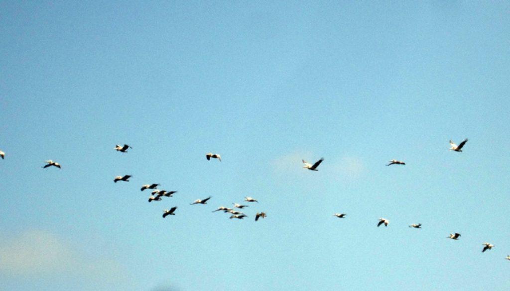 Panama Seevögel